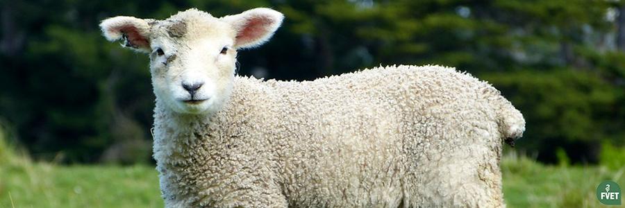 Llamado a estudiantes para realizar pasantía en control de partos con corderos producidos por fertilización in vitro