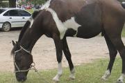 Curso Optativo: Anatomía aplicada de los miembros del equino y biomecánica