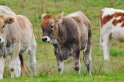 """Curso de Educación Permanente: """"Enfermedades de los bovinos en sistemas intensivos"""""""