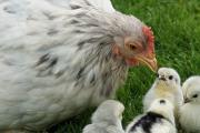 """Curso Optativo: """"Introducción a la observación y cuantificación del comportamiento de animales de producción"""""""